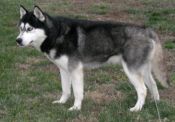 Solid Black Siberian Husky With Blue Eyes Siberian Husky ...