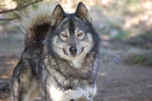 Siberian Husky colors Agoutiseries