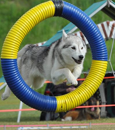 husky agility